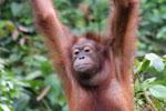 Borneo orangutan -- sabah_3863