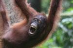 Borneo orangutan at Sepilok Rehabilitation Center -- sabah_3930