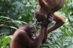 Pair of orphaned orangutans -- sabah_3969