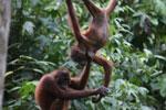 Pair of orphaned orangutans -- sabah_3980