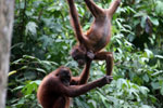 Pair of orphaned orangutans