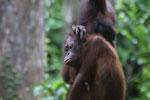 Pair of orphaned orangutans -- sabah_3986