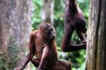 Pair of orphaned orangutans -- sabah_3988