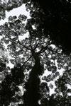 Borneo rainforest canopy -- sabah_3993
