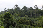Oil palm vs rain forest -- sabah_4028