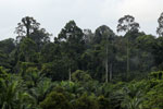Oil palm vs rain forest -- sabah_4037