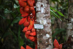 Kelumpang Sarawak (Sterculia megistophylla) -- sabah_4084