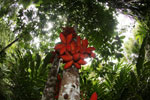 Kelumpang Sarawak (Sterculia megistophylla) -- sabah_4087