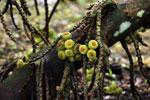 Figs -- sabah_4096