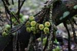 Figs -- sabah_4097