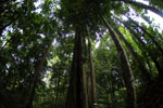 Ulin in the Borneo rainforest