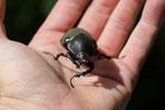 Giant beetle -- sabah_aerial_0979