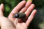 Giant beetle -- sabah_aerial_0982