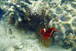 Clownfish with an anemone