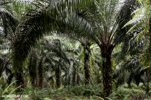 Oil palm plantation in Borneo.
