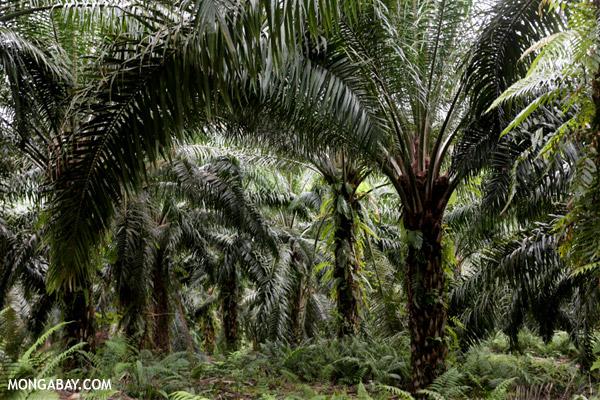 Oil palm plantation in Borneo.