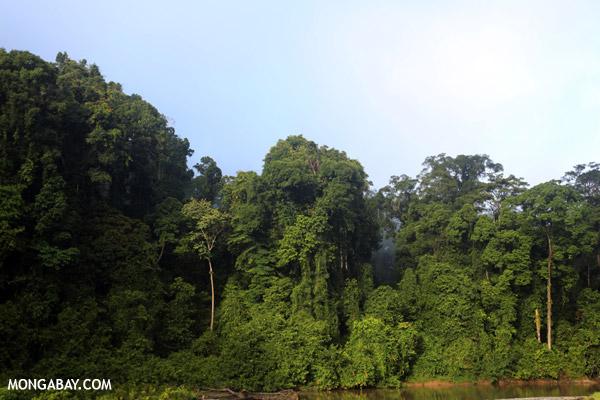 Borneo rain forest.