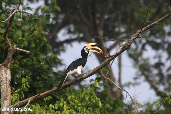 Oriental pied hornbill with fruit in Borneo. Photo by: Rhett Butler.