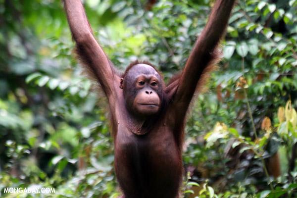 A Bornean orangutan (Pongo pygmaeus) at Sepilok Rehabilitation Center in Sabah, Malaysia. Photo by Rhett A. Butler.