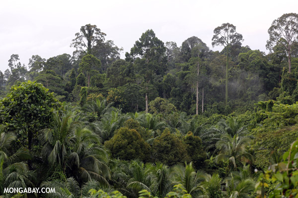 Oil palm vs rain forest in Malaysia.