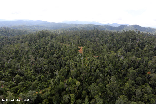 Even selective logging such as this in Sabah, Malaysian Borneo, can cause a forest to lose a number of primary forest qualities. Photo by: Rhett A. Butler.