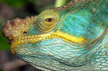 Turquoise Parson bunglon