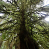 Olympic Peninsula rainforest