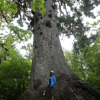 Giant sitka spruce