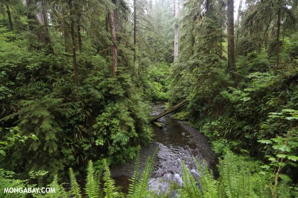 Rainforest creek [olympic_rainforest_0149]