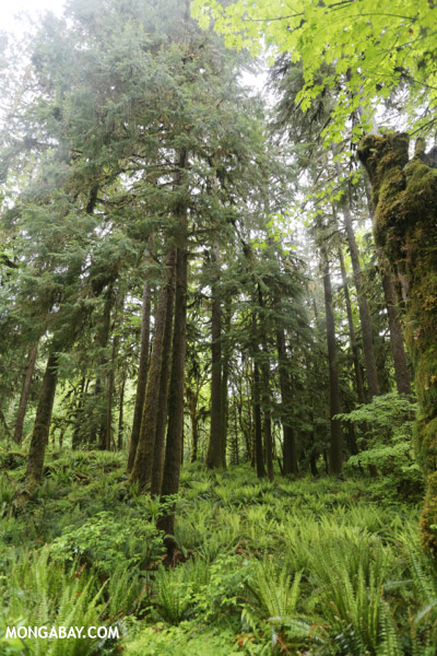 Temperate rain forest in the Pacific Northwest [olympic_rainforest_0223]
