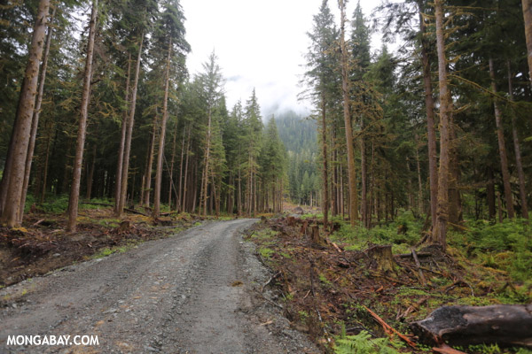Logging in a secondary forest in the U.S. Photo by: Rhett A. Butler.