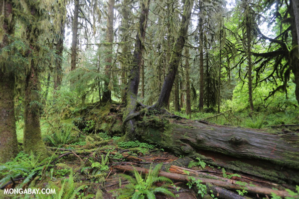 Hoh rain forest [olympic_rainforest_0653]