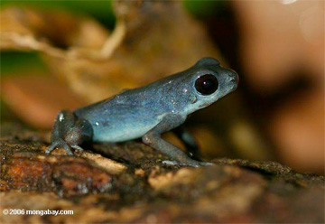 Blue form of the Dart Frog (Oophaga pumilio)
