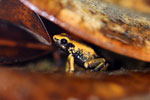 Golden terribilis, the world's most poisonous frog