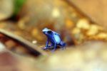 Sky blue dart frog