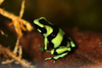 Green-and-black poison frog from Costa Rica