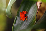 Orange Oophaga pumilio poison frog from Panama