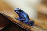 Sky blue poison arrow frog