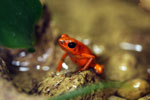 Orange Oophaga pumilio arrow frog from Panama