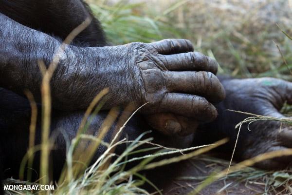 Pygmy Chimpanzee (Pan paniscus) hands