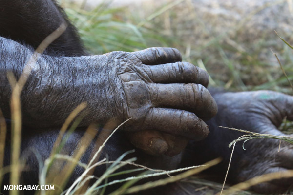 Bonobo (Pan paniscus) hands