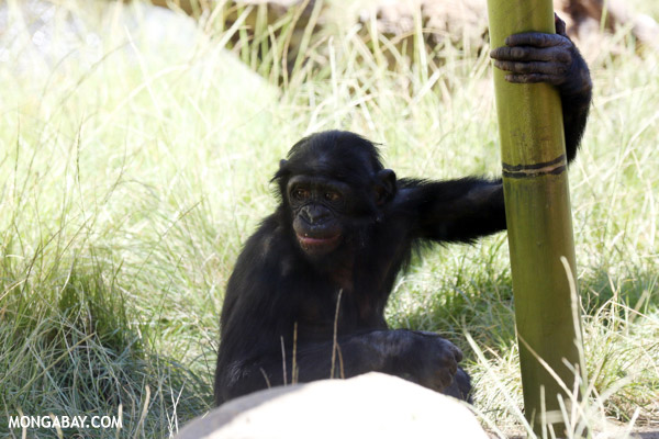 Pygmy Chimpanzee (Pan paniscus)