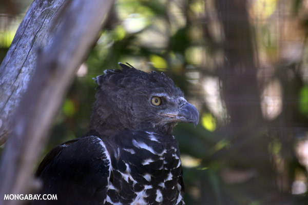 African Crowned Eagle (Stephanoaetus coronatus)