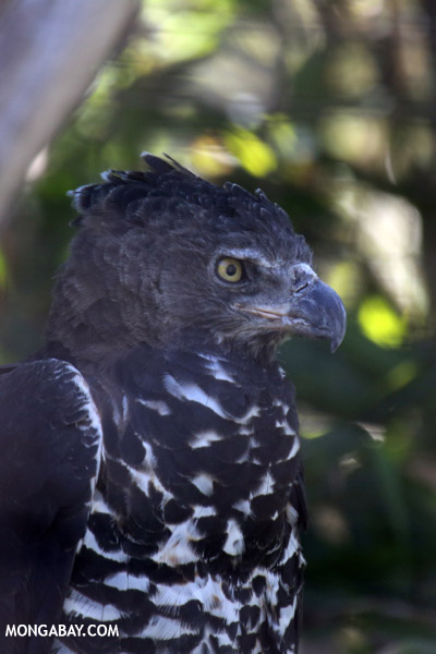 Crowned Hawk-eagle (Stephanoaetus coronatus)