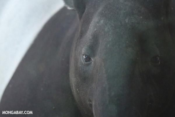 Malaysian tapir