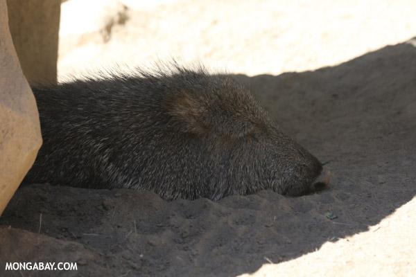 Tagua (Catagonus wagneri)