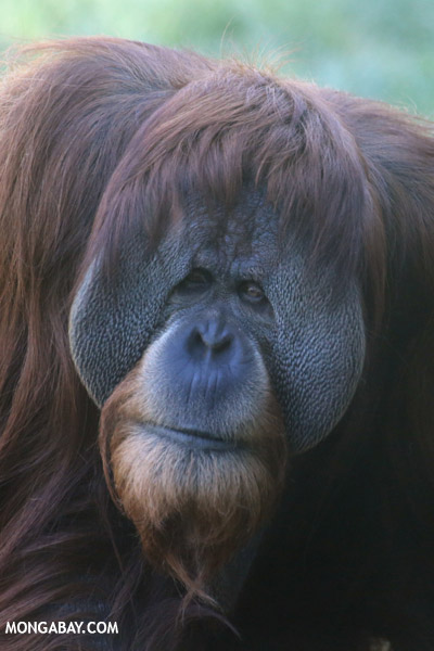 Adult male Bornean orangutan