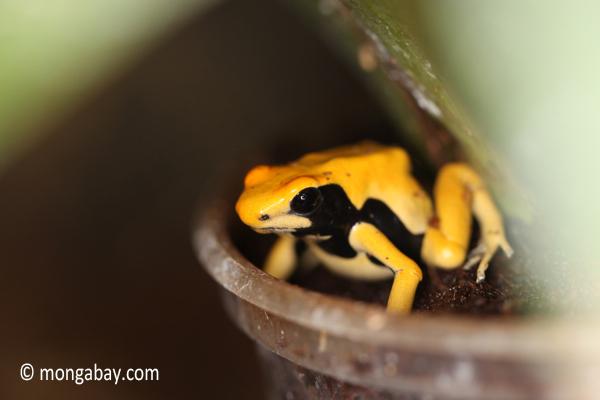 Matecho Dendrobates tinctorius poison dart frog