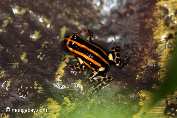 Ranitomeya lamasi poison dart frog