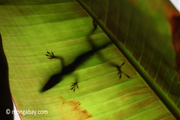 Shadow of a lizard on the underside of a leaf